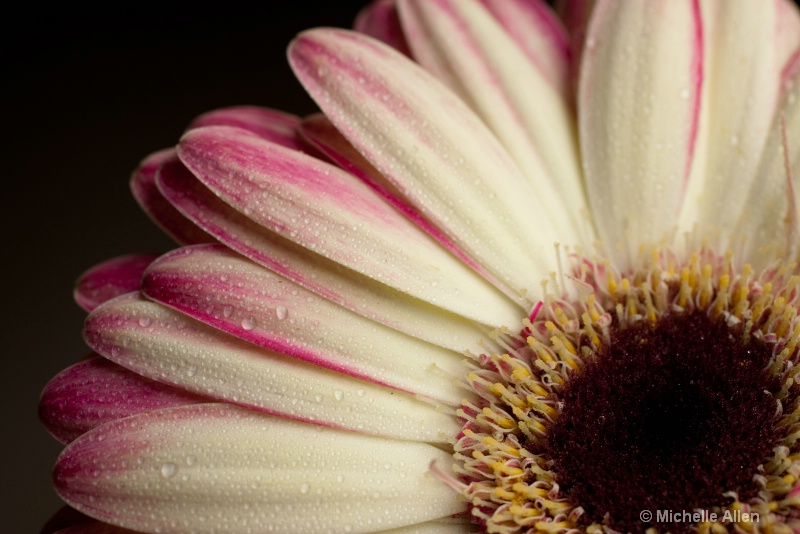 Dazzling Daisy