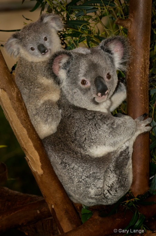 Koala Mom and joey