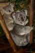 Koala Mom and joe...