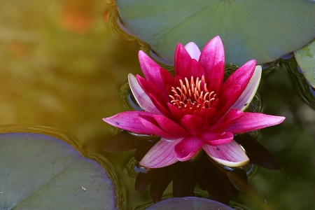 Red water lily over old gold waters