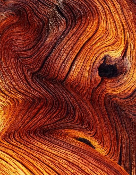 Bristle Cone Pine Trunk