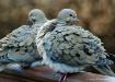 Mourning Dove Lov...