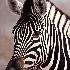 © William J. Pohley PhotoID # 9831245: Burchell's Zebra