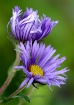 New England Aster...