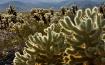 Cholla Cactus Gar...