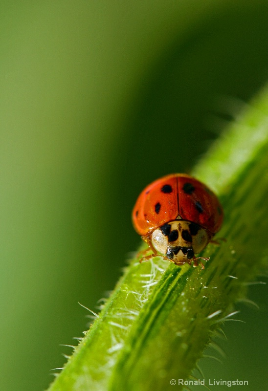 Lady Bug - ID: 9846994 © Ron Livingston