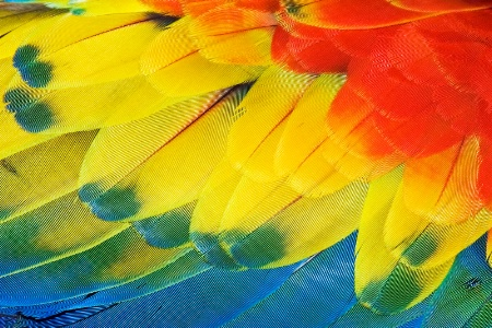 Scarlet Macaw-feathers