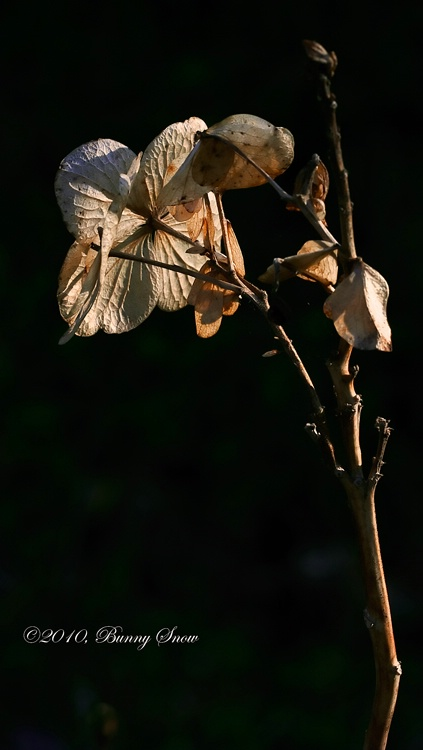 Hydrangea in Waning Light