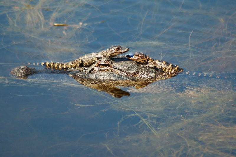 ANOTHER GATOR BABY SHOT - ID: 9856054 © SHIRLEY W. BENNETT