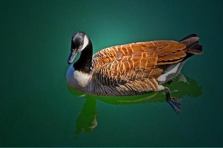 Trophy Duck.