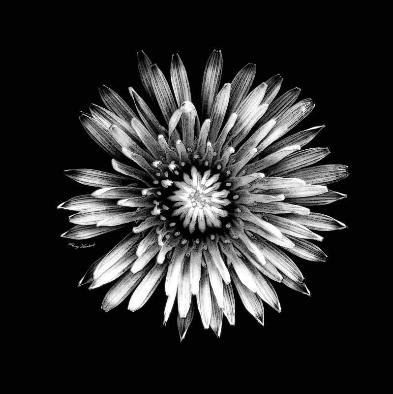 Black & White Dandelion