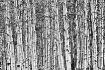 Birches_392