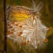 Fall Milkweed Pod...