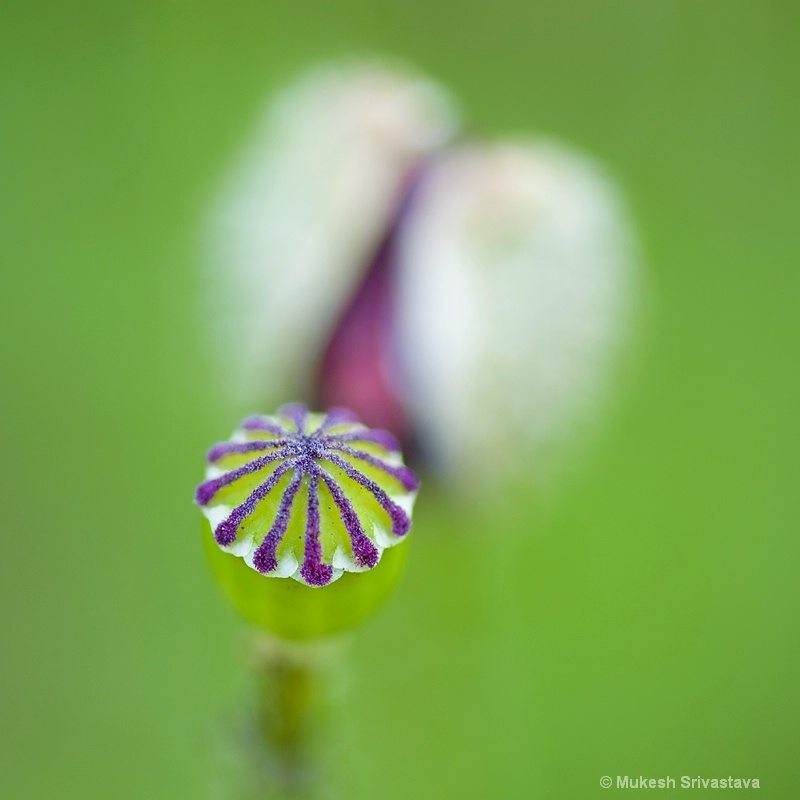 Study of Poppy Seed Pod