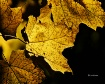 September Leaf