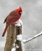Snow Bird IV