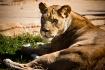 Female Lion at Tu...