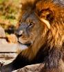Lion at Tulsa Zoo