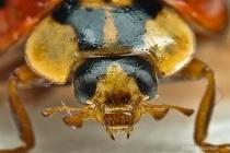 ladybird beetle face