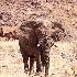 © William J. Pohley PhotoID # 9878938: Desert Elephant 2