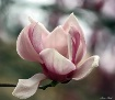 Flowering Tulip T...