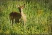 Deer in the crop