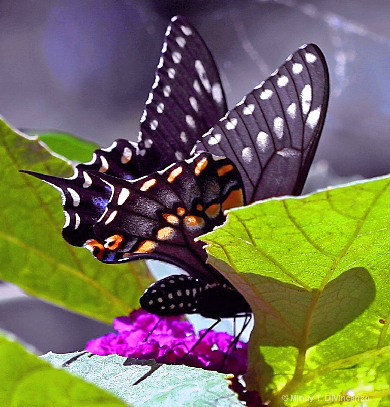 Butterfly Shadow - ID: 9888490 © Mindy T. DiVincenzo