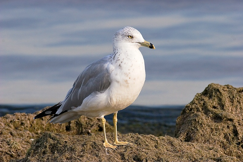 Ring-billed Gull - ID: 9894868 © Jacqueline A. Tilles