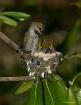 Mom hummingbird a...