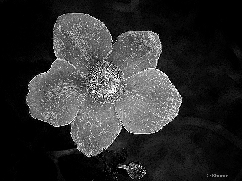 Silver Anemone