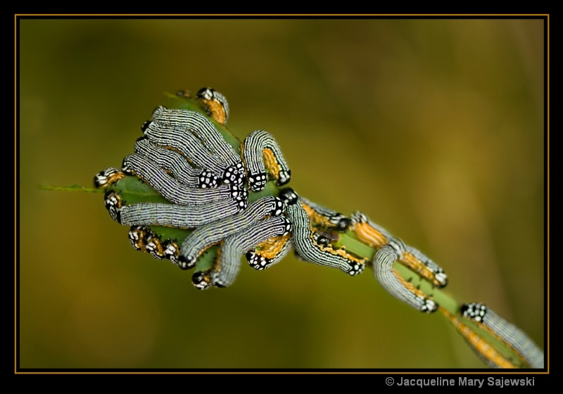 The Turbulent Phosphila