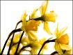 Daffodil Watercol...