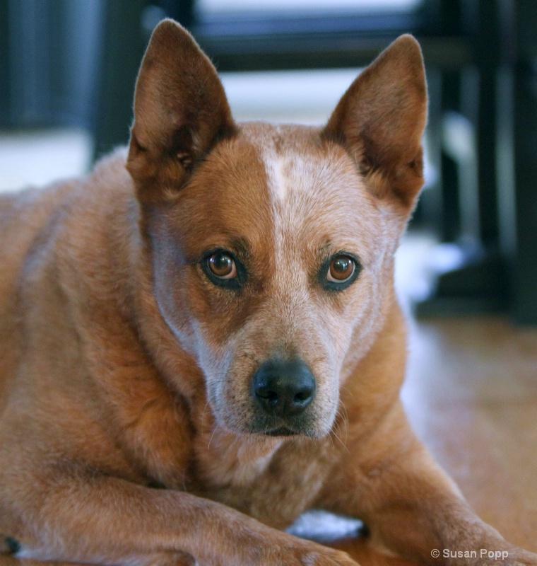 Cattle Dog - ID: 9925758 © Susan Popp