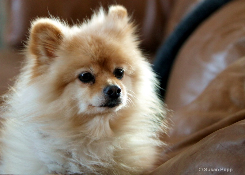 Butter Dog - ID: 9925765 © Susan Popp