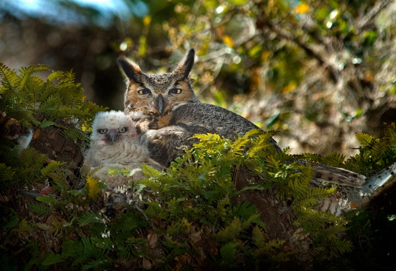 Great Horned Owl with chick - ID: 9926589 © Michael Cenci
