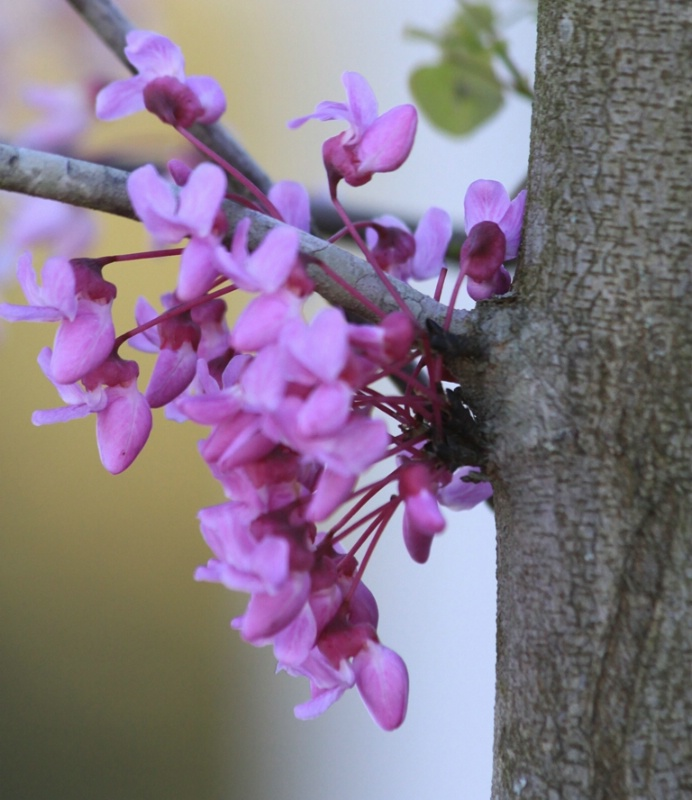 Close-Up of Red Bud