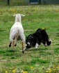 Unruly Sheep