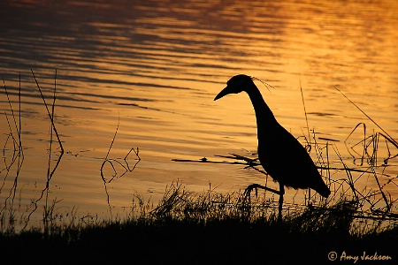 Yellow Crowned Night Heron Silhouette