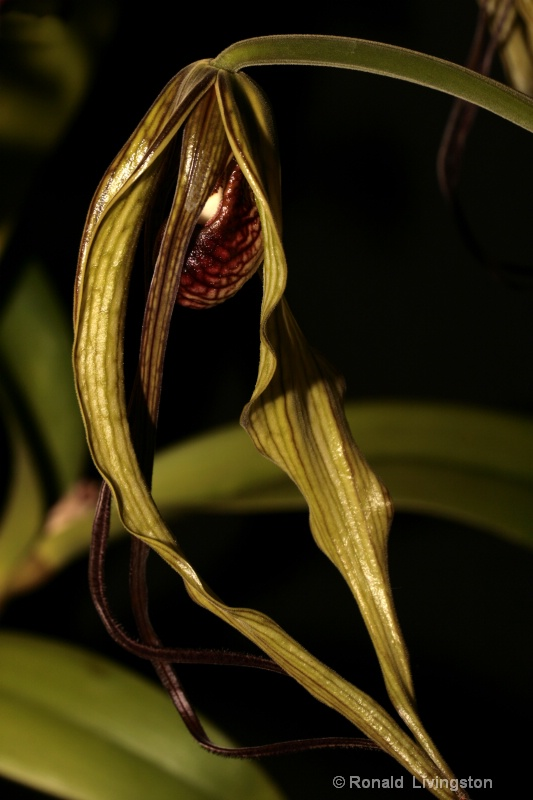 Orchid Bud - ID: 9945860 © Ron Livingston