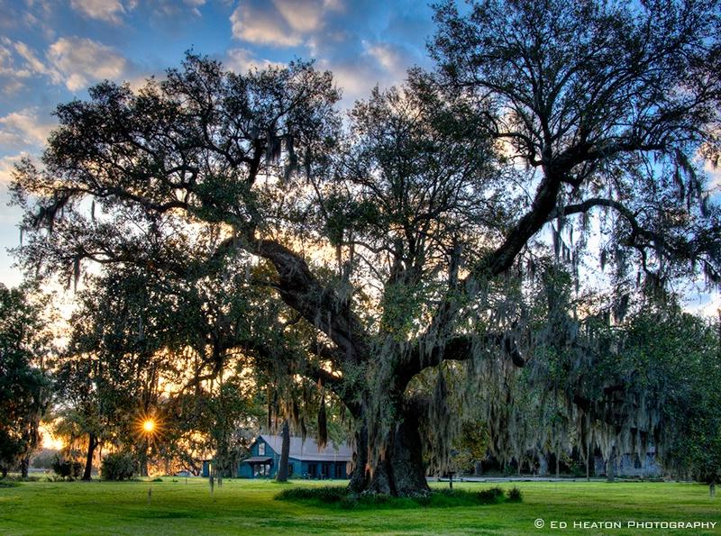 Magnolia Gardens Oak