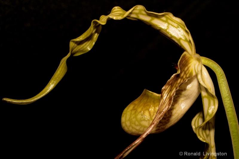 Orchid Profile - ID: 9953804 © Ron Livingston