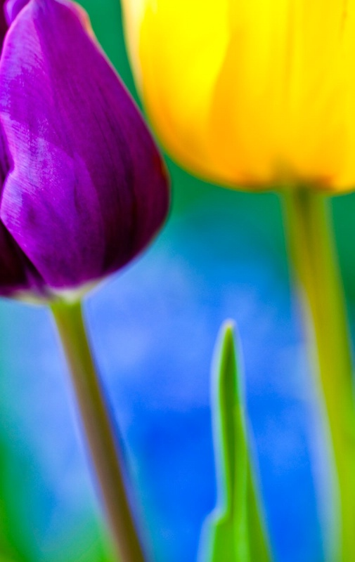 tulip portrait 2