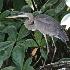 © Terry Korpela PhotoID# 9964972: Great Blue Heron