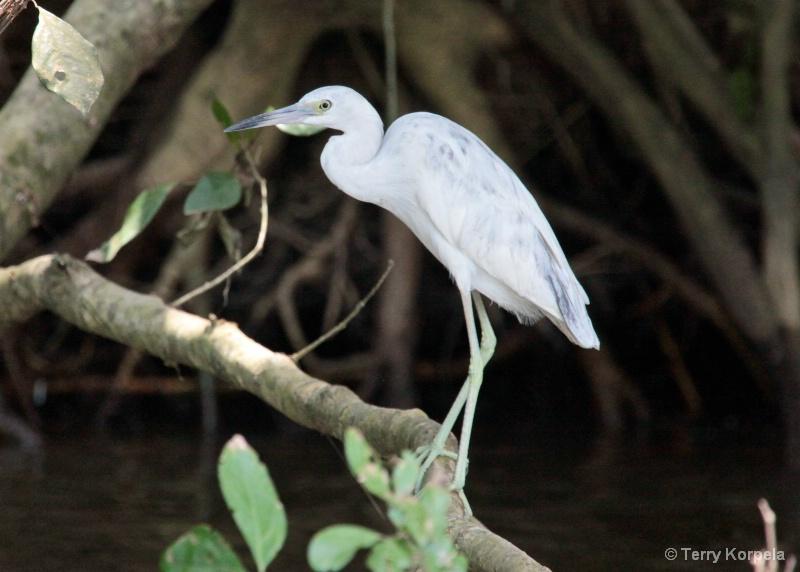 Little Blue Heron (infant) - ID: 9964975 © Terry Korpela