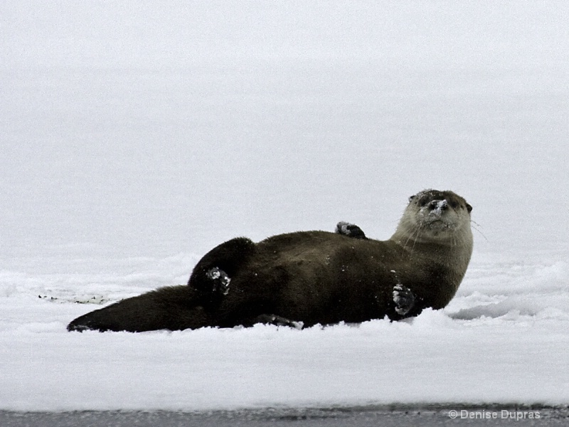 Otter on the Snow - ID: 9965902 © Denise Dupras