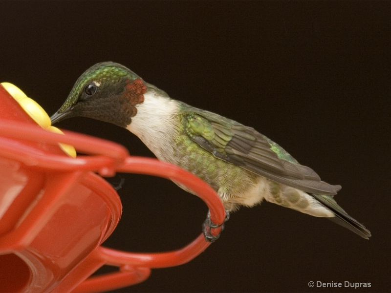 Ruby-throated Hummingbird - ID: 9965906 © Denise Dupras
