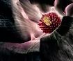 solar magnolia