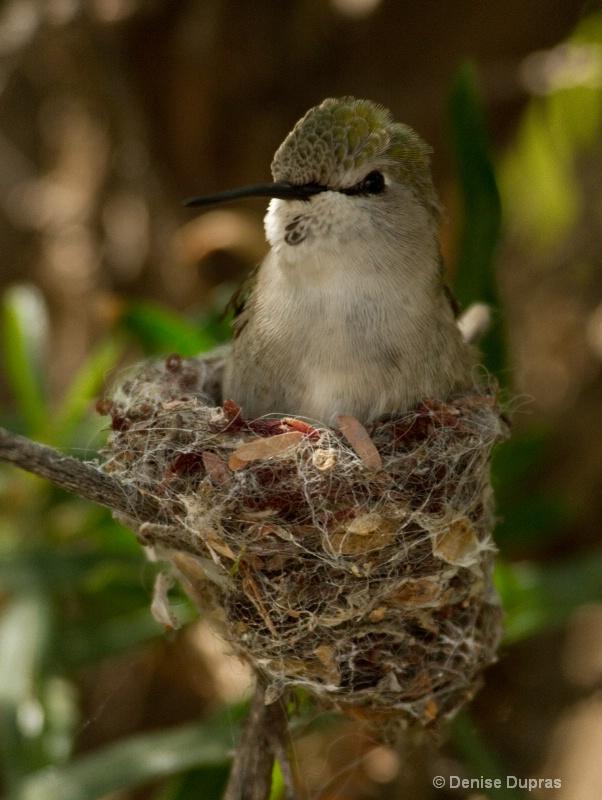 Costas Hummingbird Nesting - ID: 9968317 © Denise Dupras