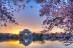 Cherry Blossom Su...