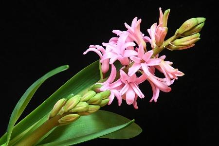 hyacinth, in pink